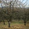 Photo: Noch Äpfel oder schon Christbaumschmuck