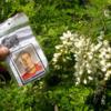 Photo: Gdzieś w krzakach tej kwitnącej akacji są te ru