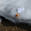 Photo: Снежный барс